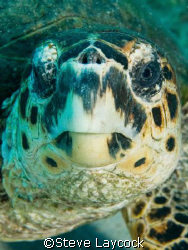 Hawksbill turtle looking into the lens by Steve Laycock 